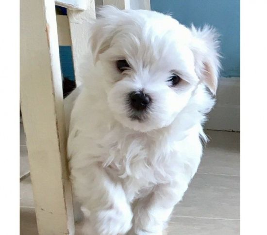 maltese puppy for sale in illinois maltese puppies for sale chicago il 281227 petzlover 2202