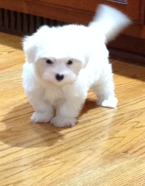 Maltese Puppies For Sale | Sacramento, CA #282725