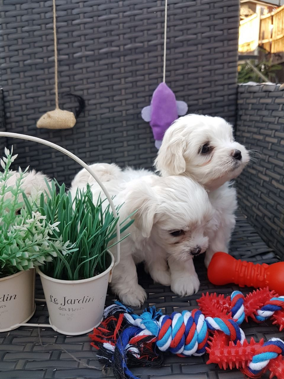 maltese puppy for sale in ohio maltese puppies for sale ohio city oh 285683 petzlover 4445