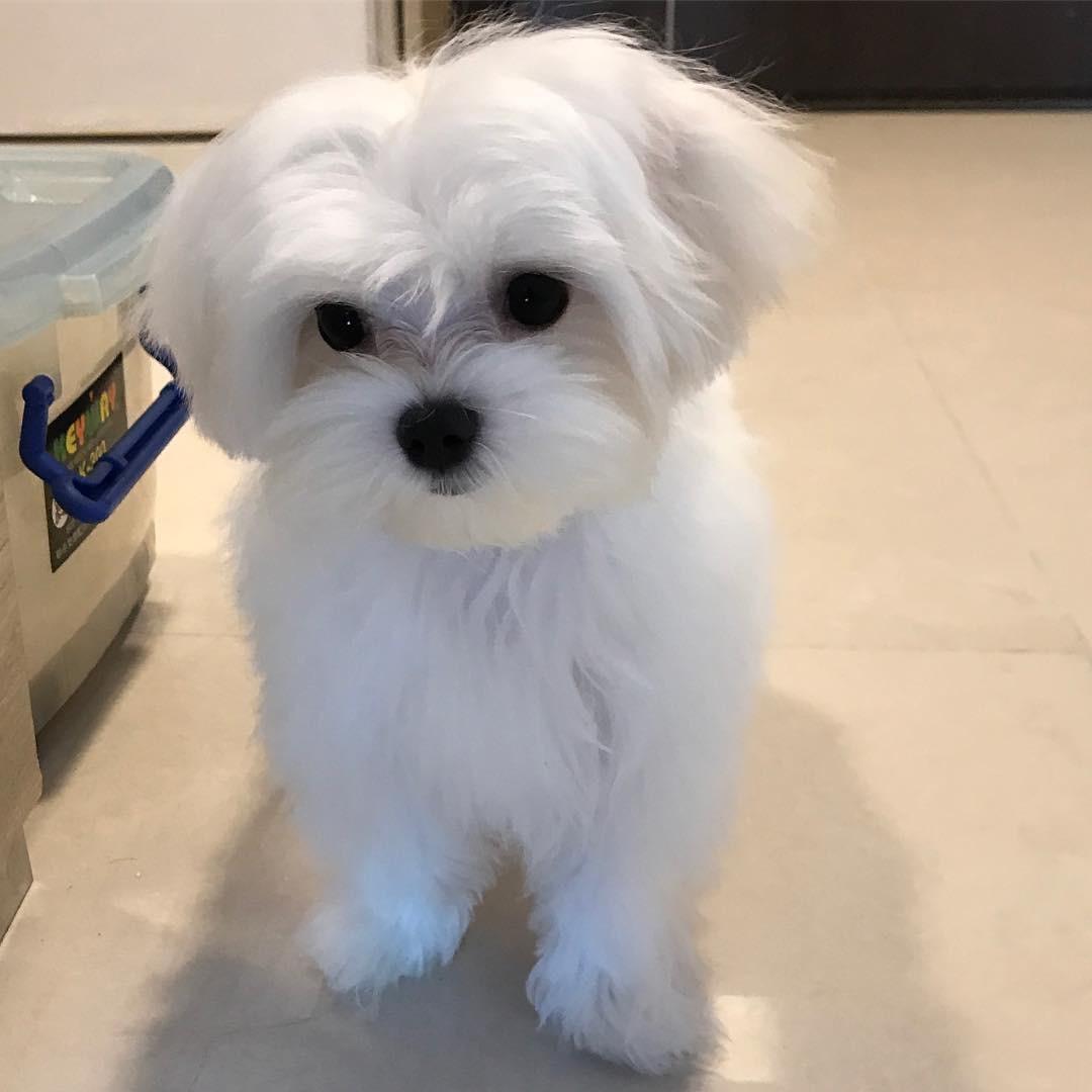 One Girl Maltese Puppy for Sale | Scotland UK