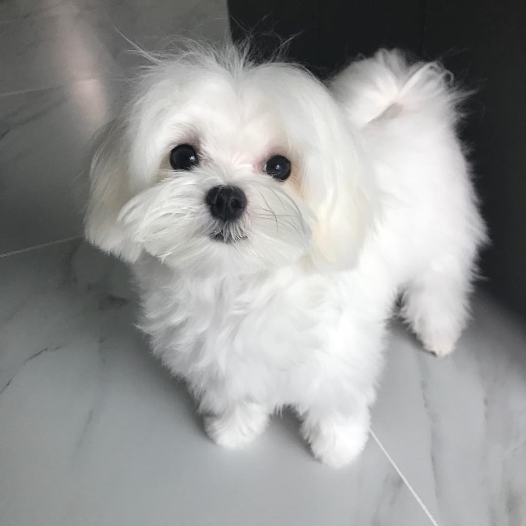 Maltese Puppies For Sale Orlando Fl 286302 Petzlover