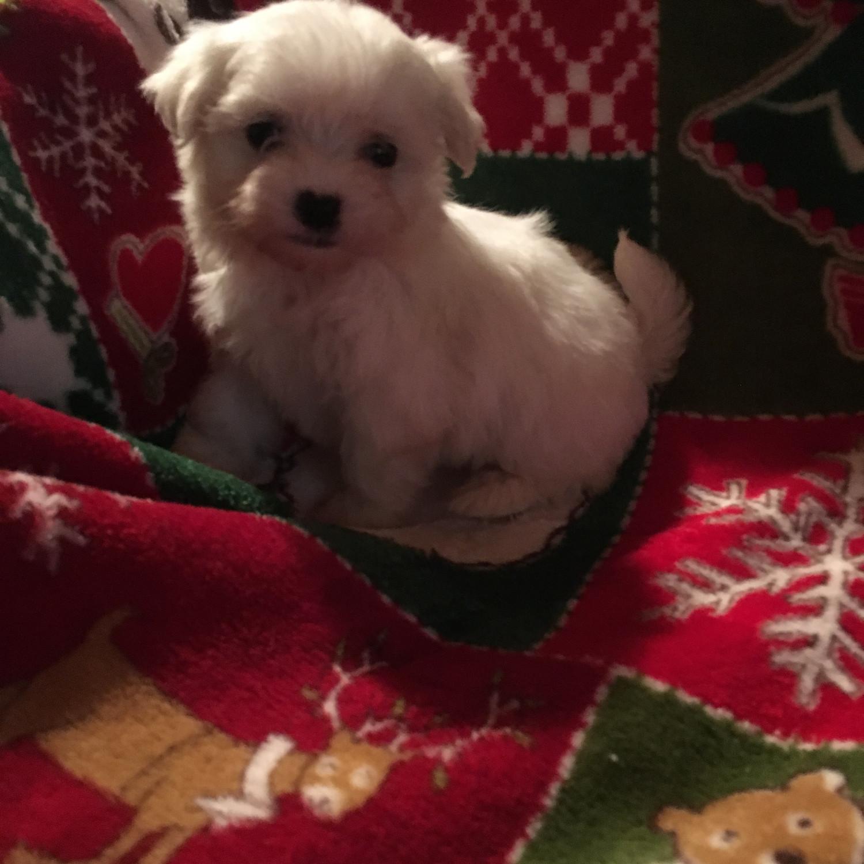 Maltese Puppies For Sale Wilkesboro Nc 286386