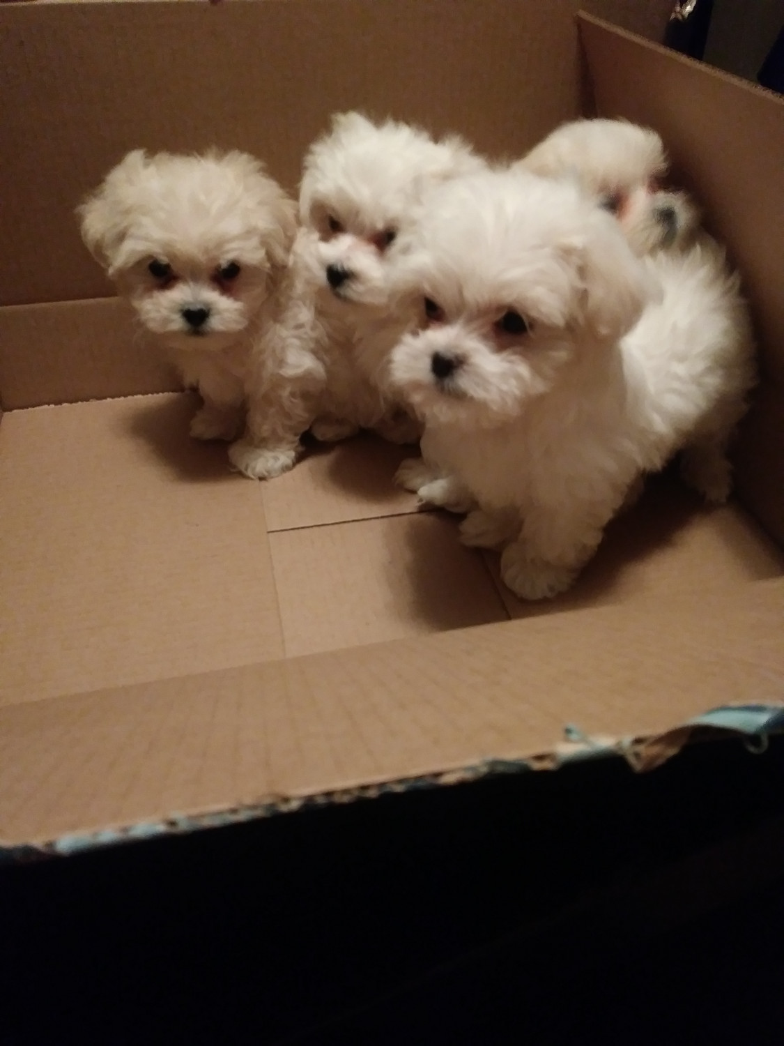 Maltese Puppies For Detroit Mi