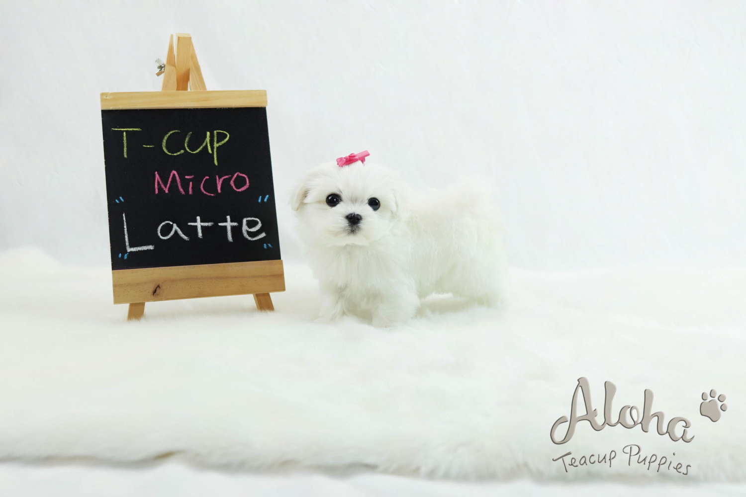 Maltese Puppies For Sale | New York, NY #292285 | Petzlover