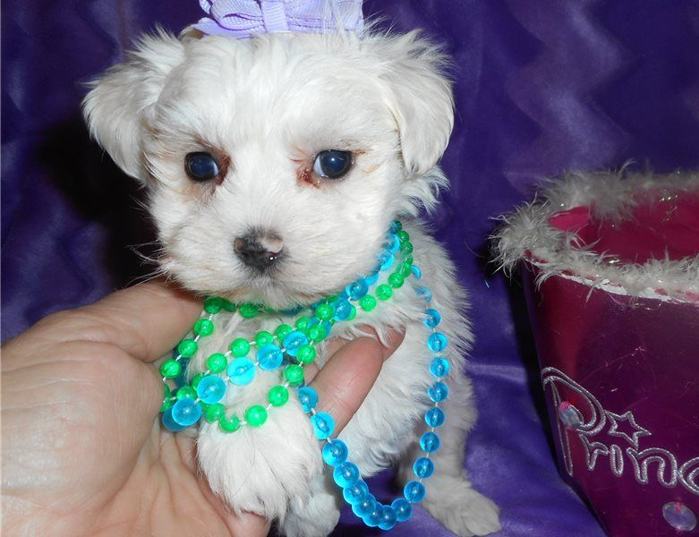 maltese for sale in va maltese puppies for sale fairfax va 294627 petzlover 1921