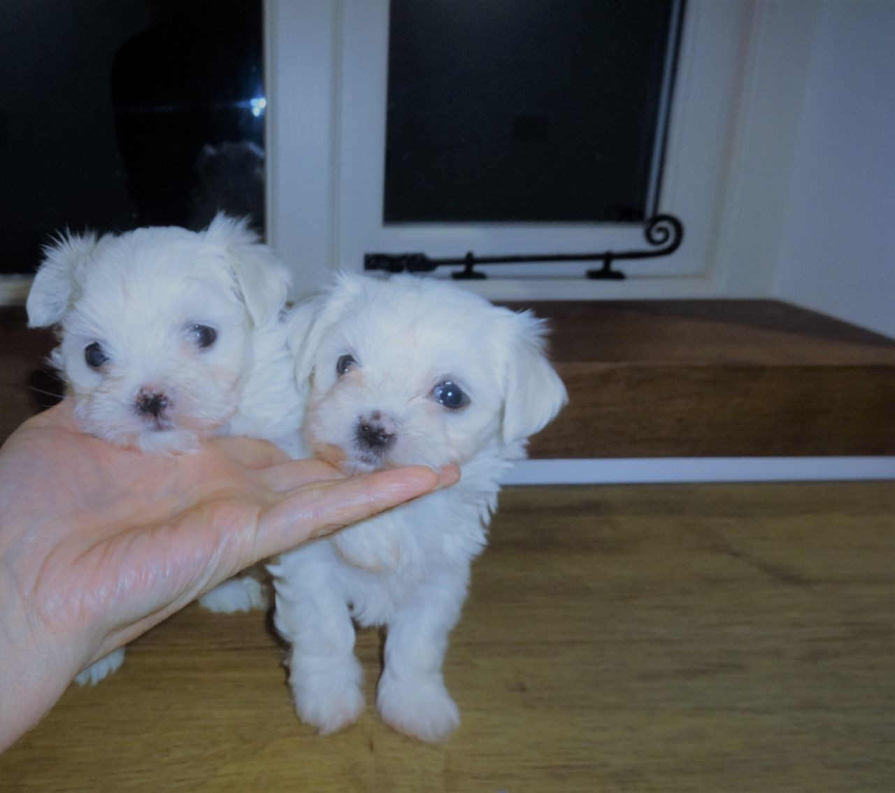 Maltese Puppies For Sale New Jersey 17 Nj 295975