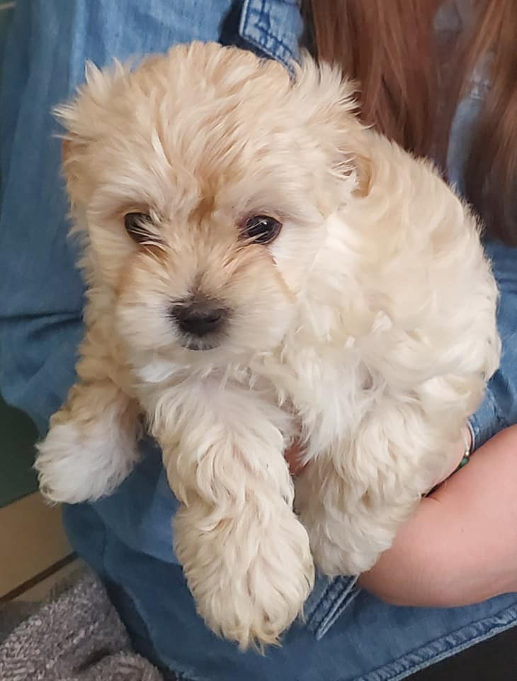 maltese puppies for sale in sc maltese puppies for sale columbia sc 296223 petzlover 737
