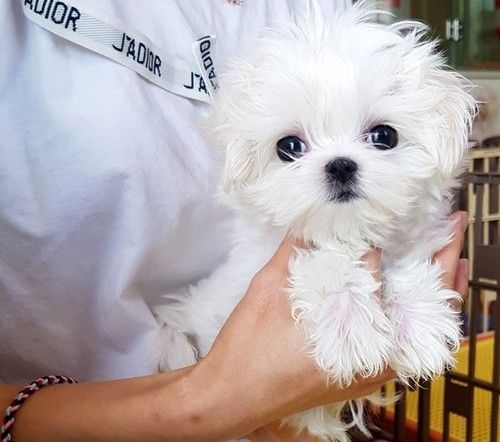 maltese puppies for sale in sc maltese puppies for sale charleston sc 296403 3246