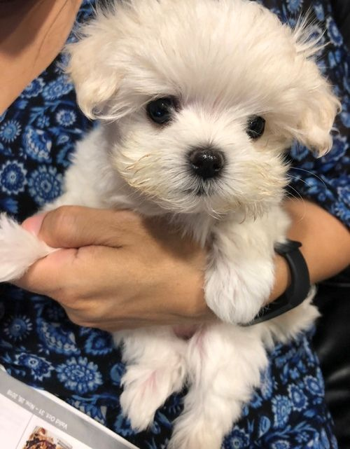 Maltese Puppies For Sale | Fort Worth, TX #299431