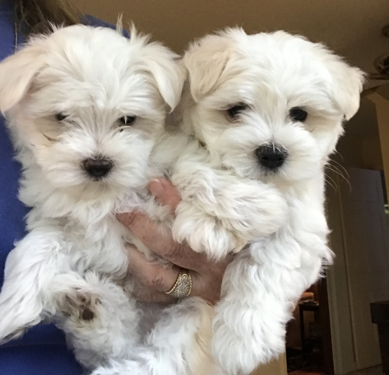 cute Puppy For Sale Maltese ADOPTION New South Wales Australia