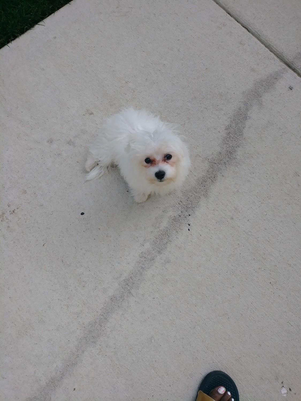Maltese Puppies For Sale | Newport News, VA #309155
