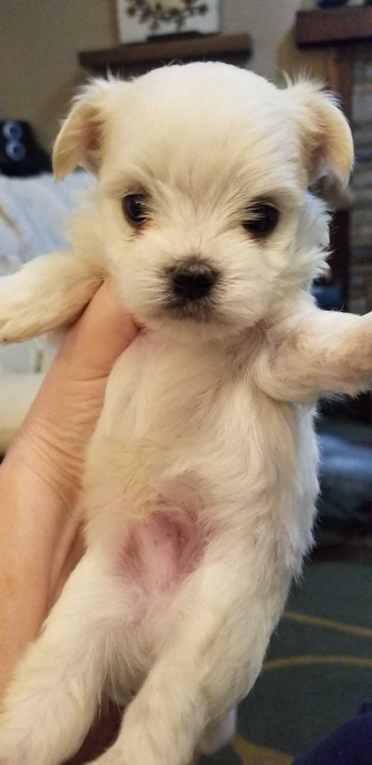 Maltese Puppies For Sale | Connecticut USA