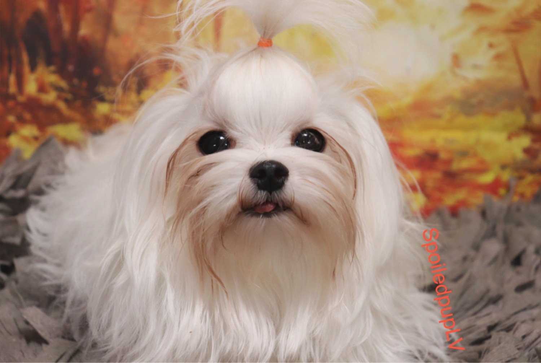 21 week old male Maltese puppy for sale   in Turkey