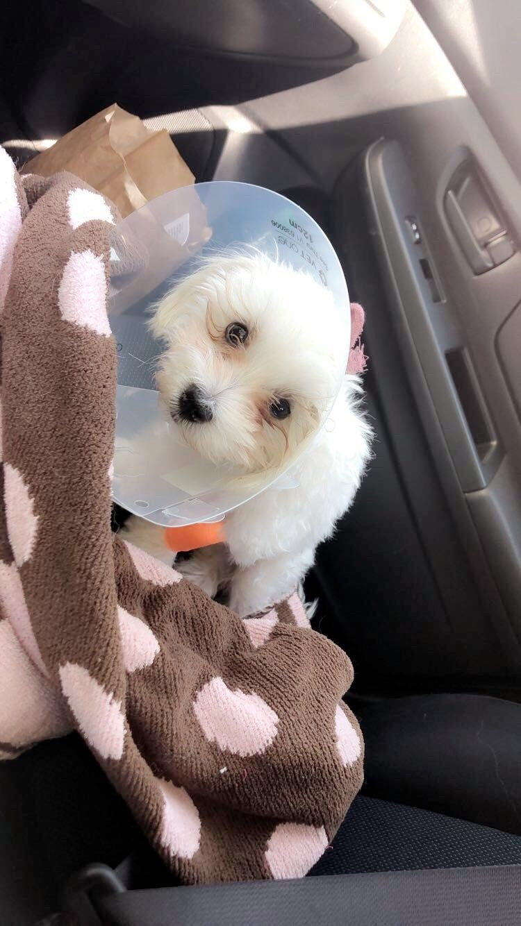 Maltese Puppies For Sale   Fort Collins, CO #322484