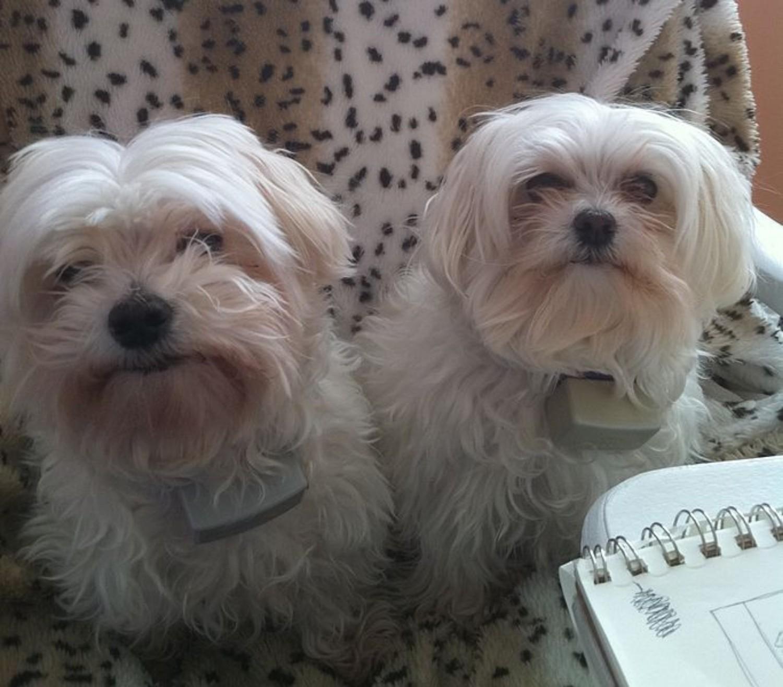 Maltese Vs Lhasa Apso Breed Comparison Mydogbreeds