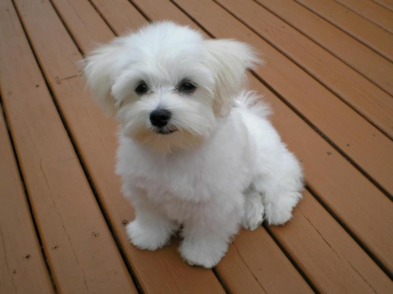 Maltese Dog Breed Information, Images, Characteristics, Health