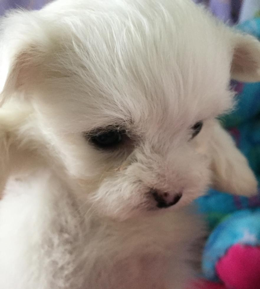 Maltipoo Puppies For Sale Birmingham Al 76510