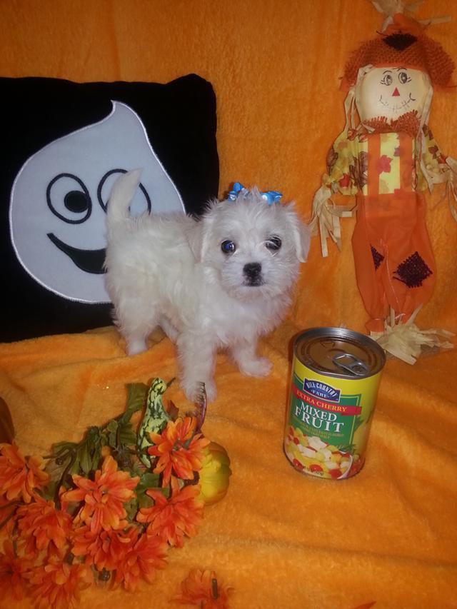 Maltipoo Puppies For Sale Colorado Springs Co 101836