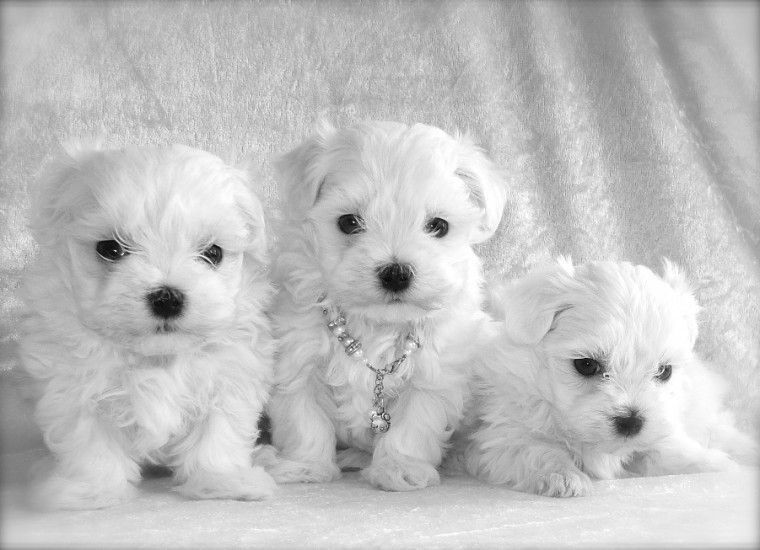 Maltipoo Puppies For Sale | West Town, IL #170894