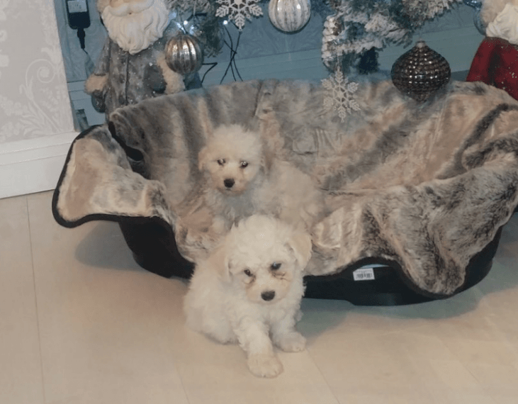 Maltipoo Puppies For Sale Jersey City Nj 190361