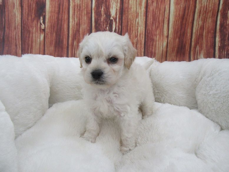 Malti Poo Puppies For Sale Puppyfindcom | middlesex ...