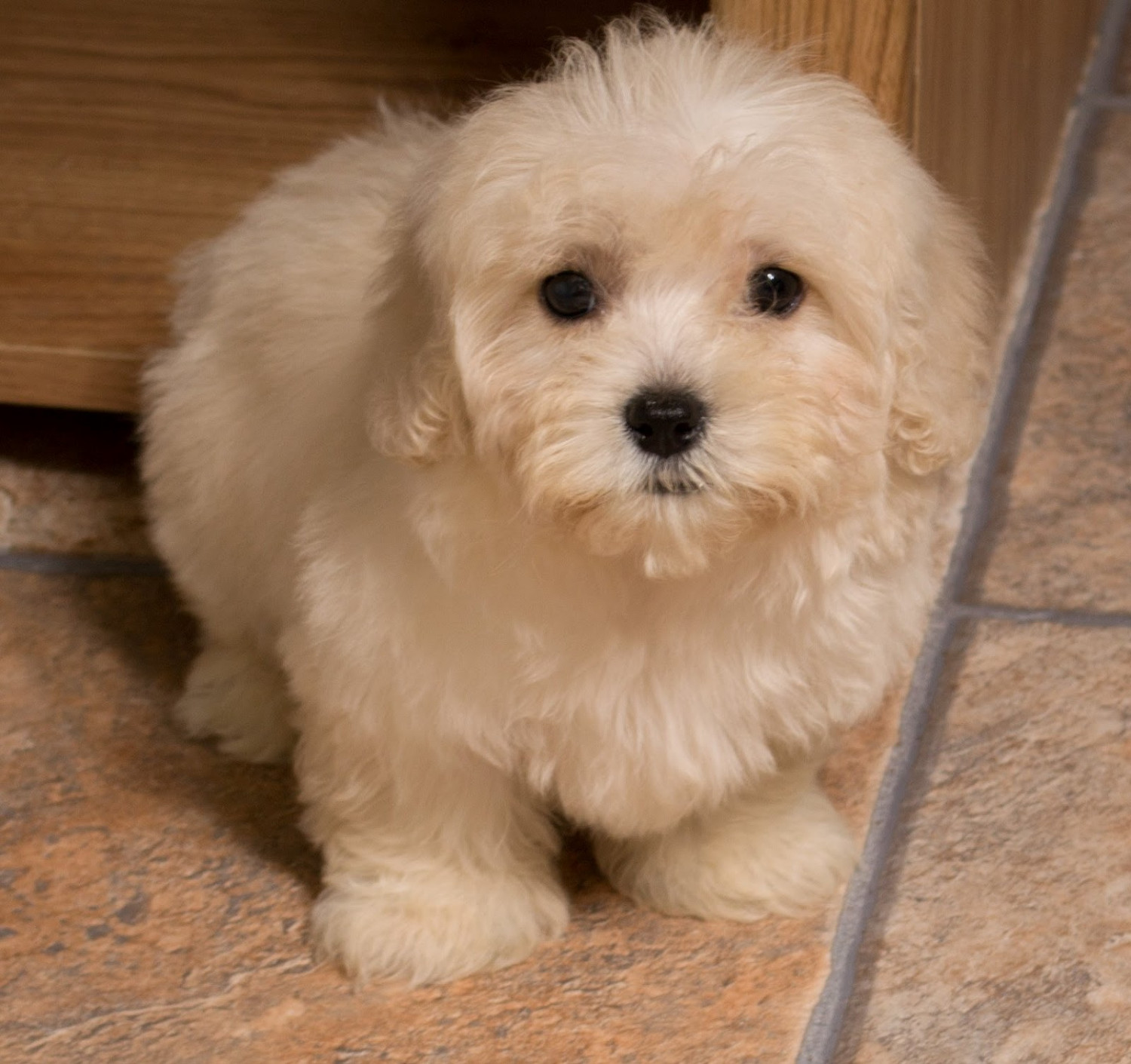 Maltipoo Puppies For Sale New York Ny 201450 Petzlover
