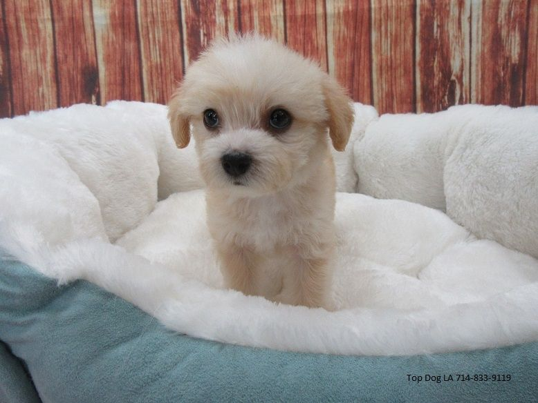 Malti Poo Puppies For Sale Puppyfindcom   middlesex ...