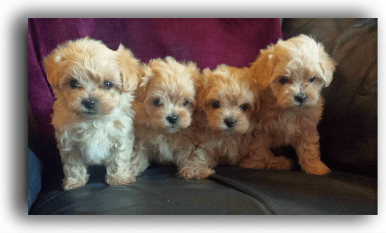 puppies for sale in delaware maltipoo puppies for sale delaware oh 209041 petzlover 2730