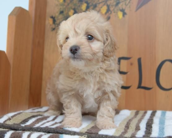 Maltipoo Puppies For Sale New Jersey 3 Nj 211056