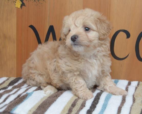 Maltipoo Puppies For Sale Nevada Street Newark Nj 216237