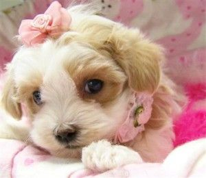 Maltipoo Puppies For Sale New York Ny 228139 Petzlover