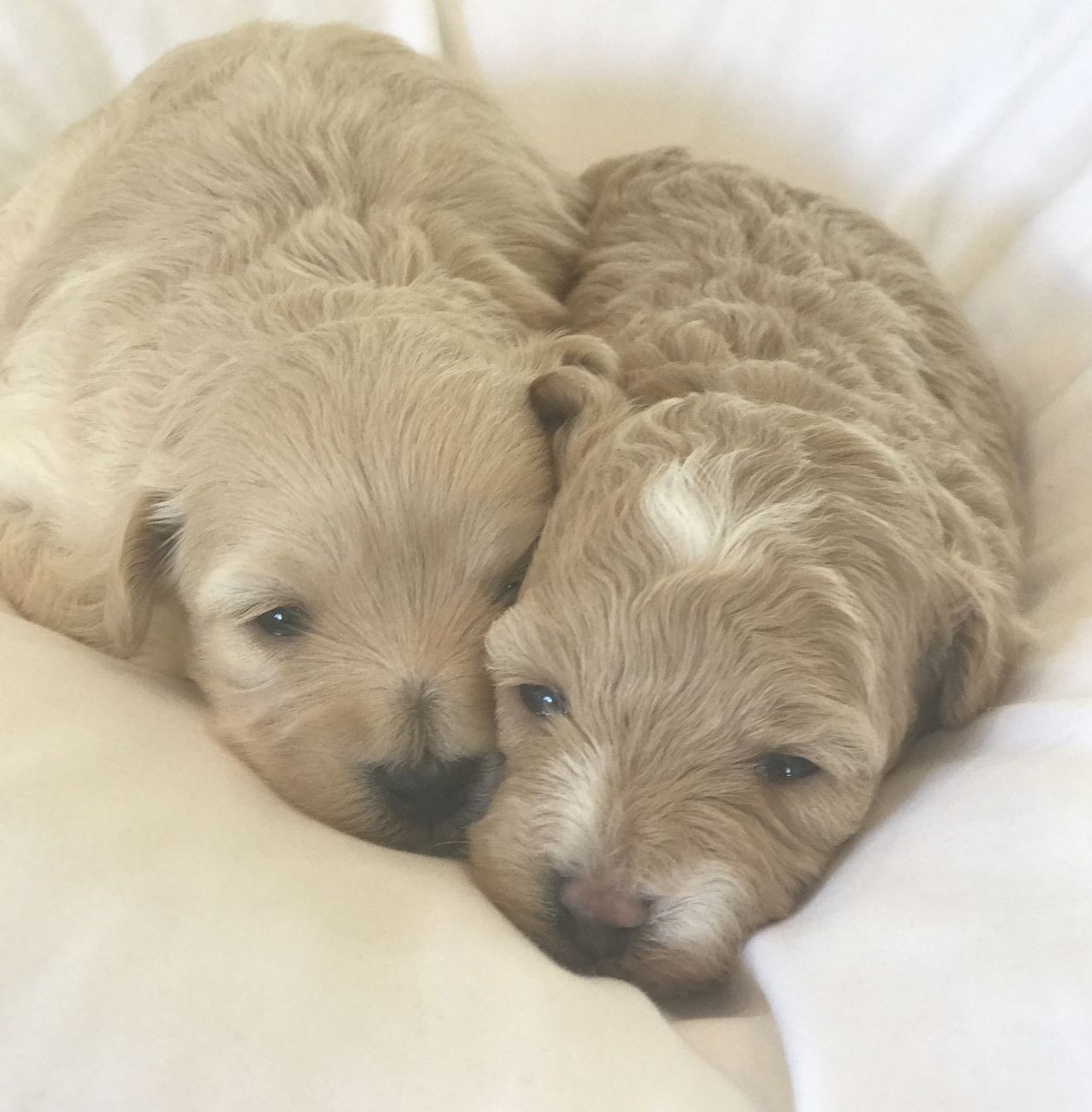 Maltipoo Puppies For Sale Broadway New York Ny 243056