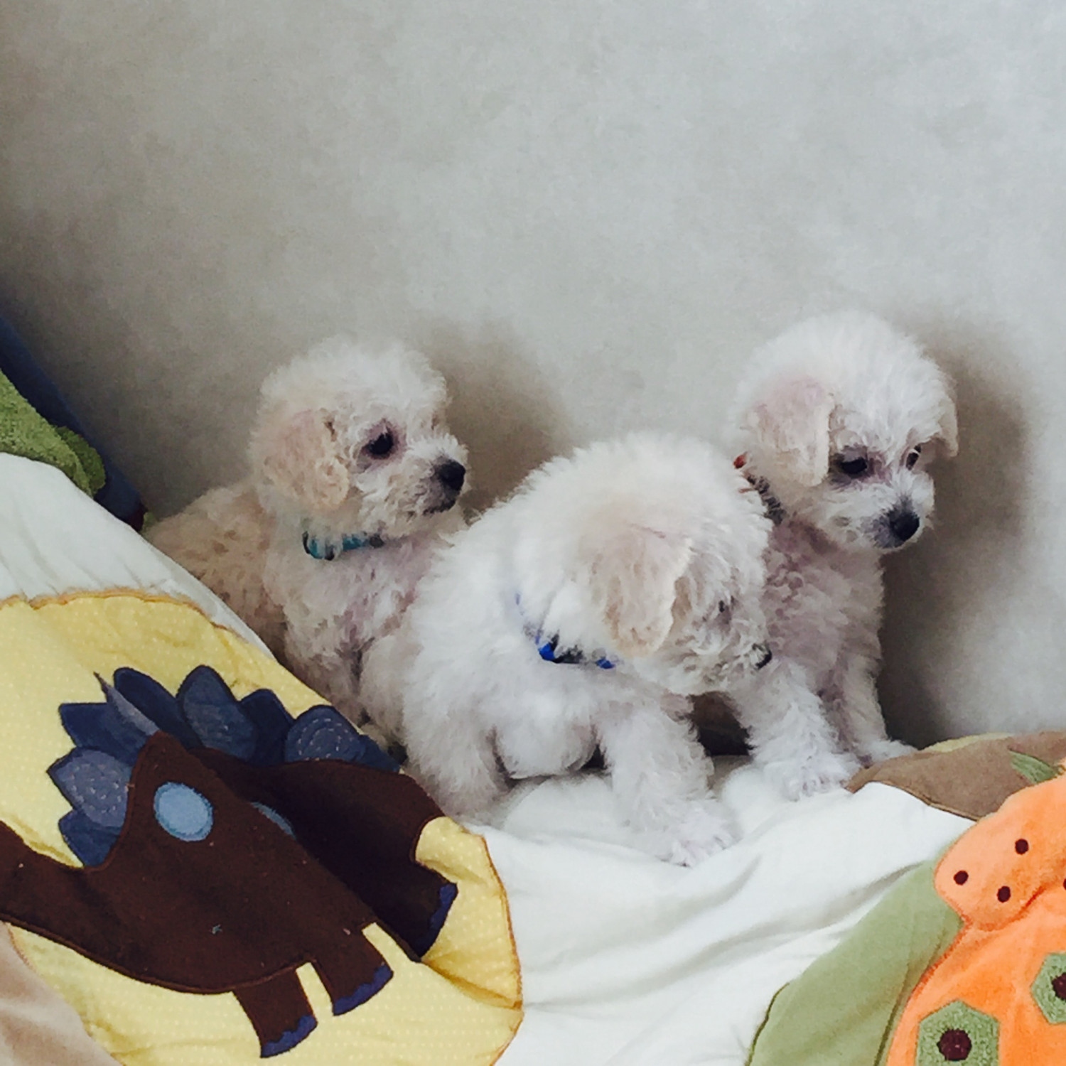 Maltipoo Puppies For Sale | Justice, IL #245153 | Petzlover
