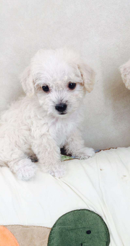 Maltipoo Puppies For Sale | Justice, IL #245153 | Petzlover