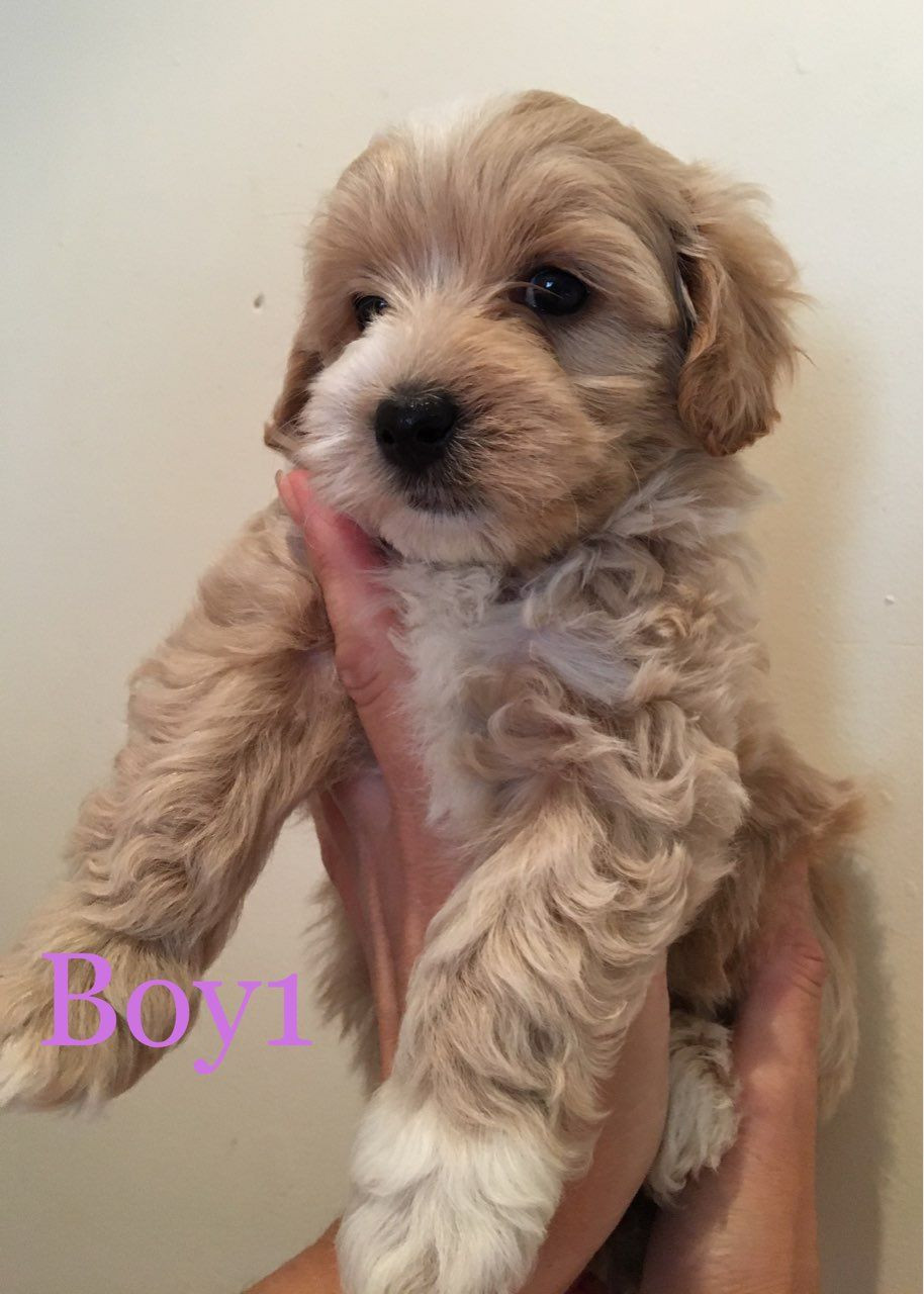 Maltipoo Puppies For Sale Vineland Nj 281367 Petzlover