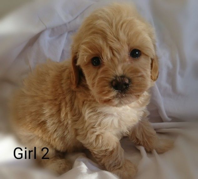 Maltipoo Puppies For Sale   Columbus, OH #285569   Petzlover