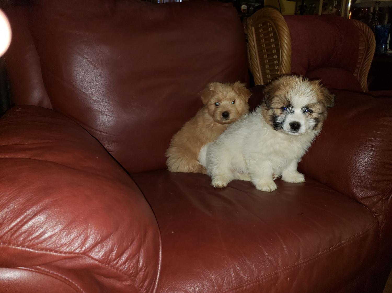 Maltipoo Puppies For Sale   UPR MARLBORO, MD #297495