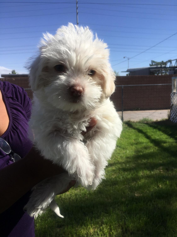 Maltipoo Puppies For Sale | Massachusetts USA