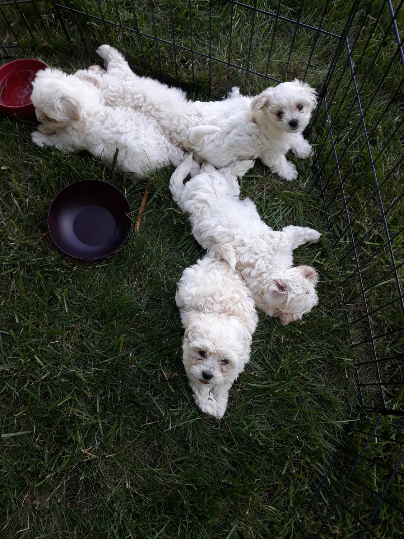 Maltipoo Puppies For Sale   Imlay City, MI #300669