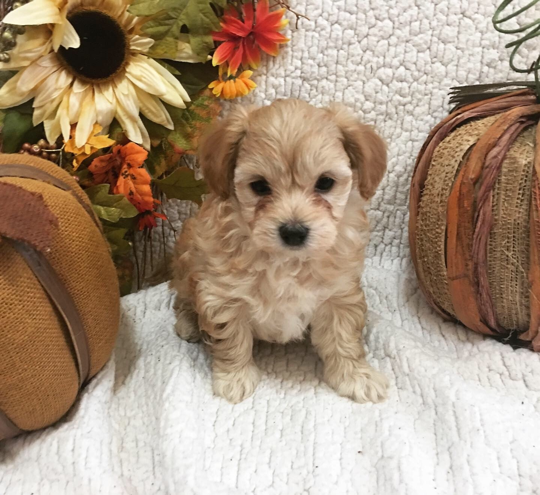 Maltipoo Puppies For Sale | Modesto, CA #314295 | Petzlover