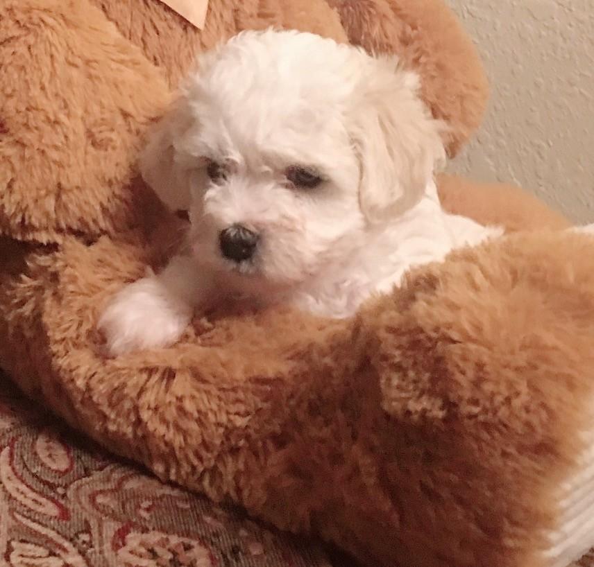 Maltipoo Puppies For Sale Toledo Oh 317171 Petzlover