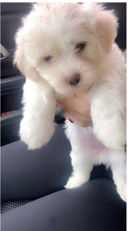 Maltipoo Puppies For Sale   Flat River Drive, Charlotte ...