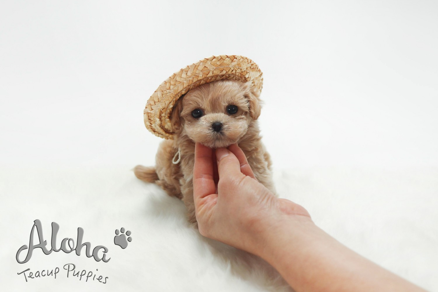 Maltipoo Puppies For New York