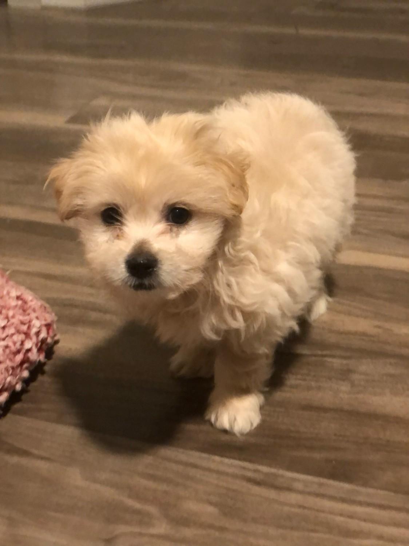 Maltipoo Puppies For Sale | Idaho USA | Petzlover