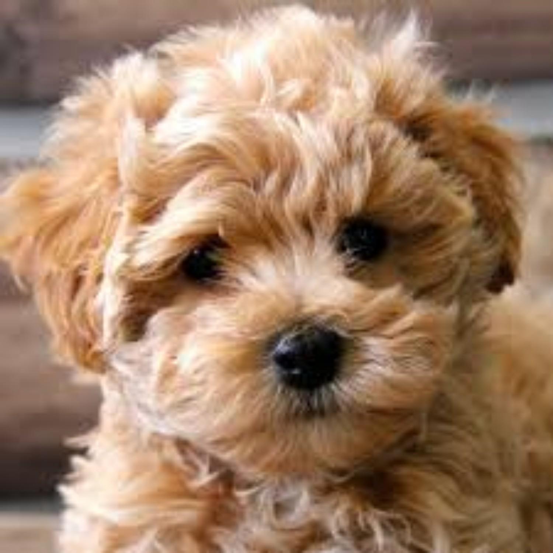 Maltipoo Dog Breed Information Images Characteristics Health