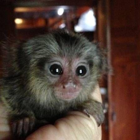Mangabey Monkey
