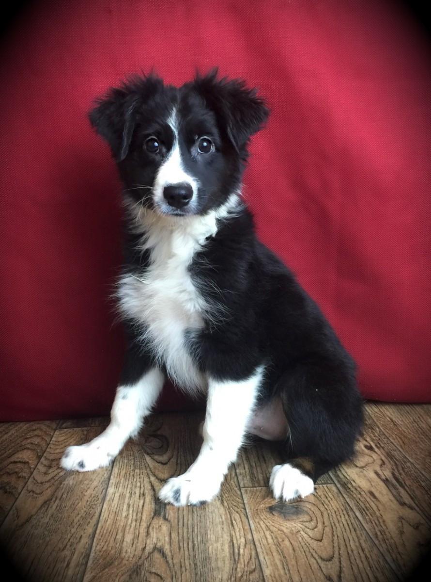 Miniature Australian Shepherd Puppies For Sale Canton Oh 167089