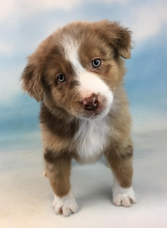 Miniature Australian Shepherd Puppies For Sale | Canton ...