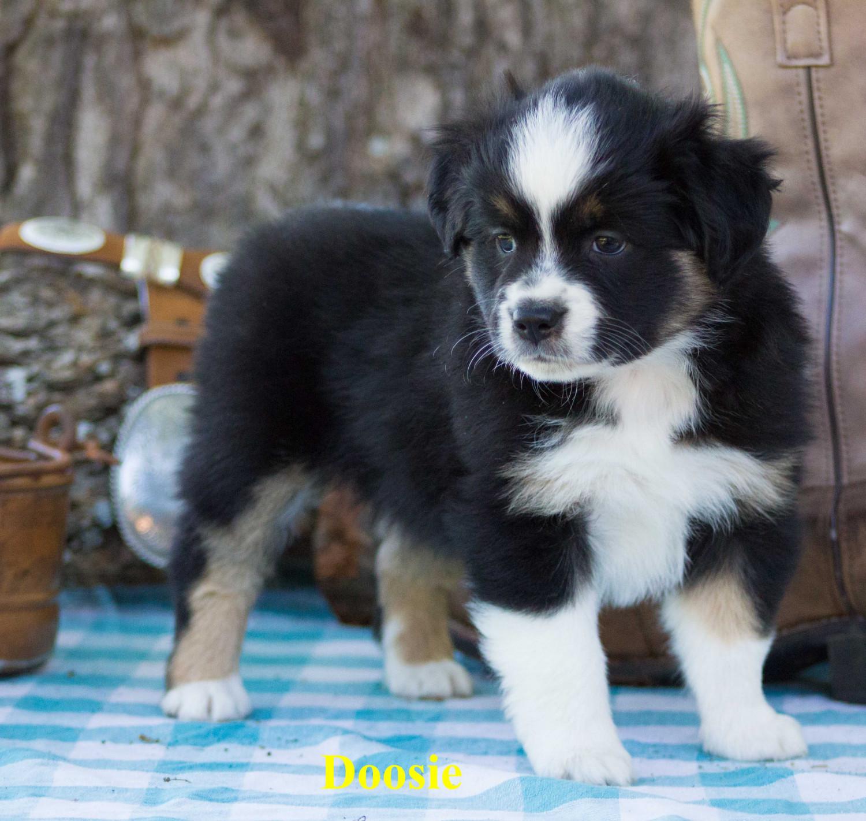 Miniature Australian Shepherd Puppies For Sale Gun Barrel City Tx