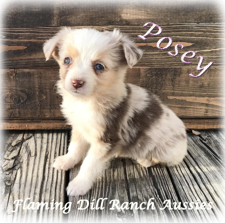 Miniature Australian Shepherd Puppies For Sale Dallas Tx 250225